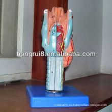 Modelo laríngeo anatómico de ISO, modelo médico de la laringe, modelo magnificado de la laringe humana