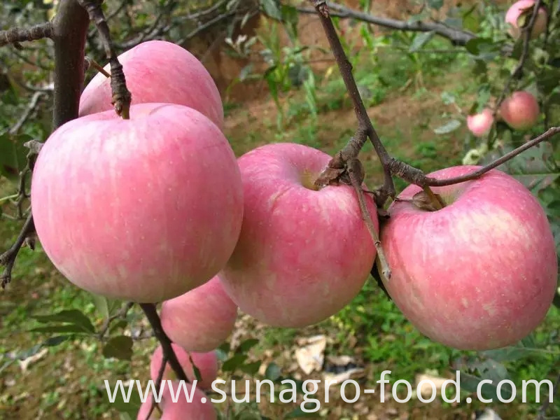 Export hot red star apples