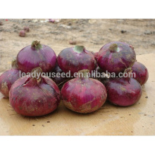 ON02 Diqiu mid-late sunshine red onion seeds price