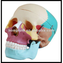 ISO Life-Size Human Skull with Colored Bones,Skull model