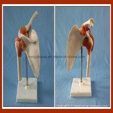 Type de bureau Modèle Artificial modèle d'articulation de l'épaule gauche pour les fournitures scolaires en gros