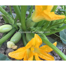 SQ16 Cuty very early maturity baby pick hybrid squash seeds