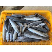 Pescado congelado Bonito (Auxis rochei rochei)