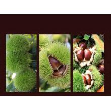 2015 Los más vendidos China Fresh Chestnut
