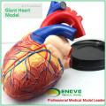HEART10 (12486) Modelo de anatomía de corazón humano de gran tamaño, 4 veces Tamaño de vida completo Ampliar, 3 piezas, Modelos de anatomía> Modelos de corazón