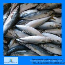 frozen mackerel(size:300-500)