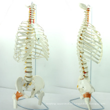 SPINE07 (12380) Medical Science Life-Size Sternum com Fumer para Medical School Education