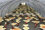 fungus mushroom extract ;fungus supplements