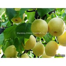 Chinese New Fresh Ya Pear