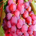 Hot sale red seedless grapes organic grapes