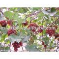 Hongti Grapes