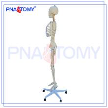Skeleton Modell PNT-0104, künstliches Skelett, Skeleton Anatomie-Modell