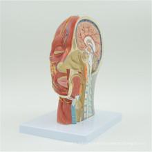 Personalizar el modelo de cerebro anatomía