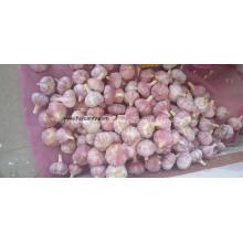 Knoblauch neue Ernte beginnen nächste Woche