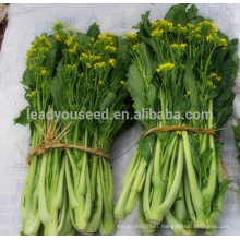 CS08 Zhencheng late maturity choy sum seeds in agriculture