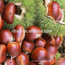 bulk packing fresh chestnut in shell