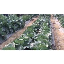 Suntoday heat tolerant Chinese Chard Asian vegetable cabbage seeds