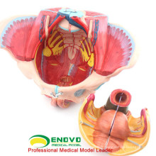 GROSSISME ANATOMIE DE PELVIS 12626 Life Size 4 pièces Anatomie Femelle Pelvis Medical Model