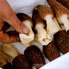 Exportateur de champignon / morille aux champignons morchella