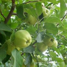 Китайский свежий золотой вкусный Apple