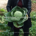 C10 Chunqiu no.001 maturité précoce graines de chou