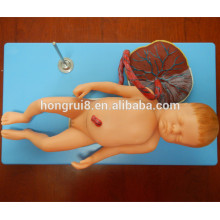 ISO Advanced Anatomical Model of Fetus with Viscus and Placenta, Baby model