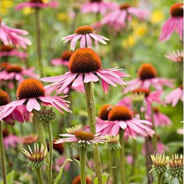 Echinacea Purpurea P.E Benifit(Extract of PURPLE CONEFLOWER)
