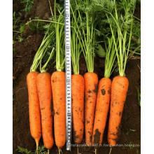 HCA07 Loko de 22 à 24 cm de longueur, graines de carotte Op dans les graines de légumes