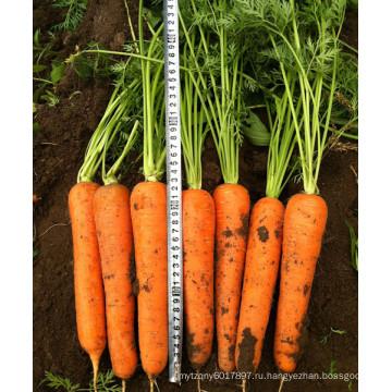 HCA07 Локо 22 до 24см в длину,ОП семян морковь семена овощных культур