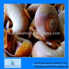 delicious frozen premium quality moon snail wholesale price