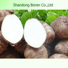 Versorgung Die beste Qualität frischen Taro in China