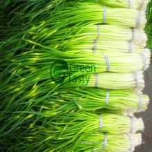 Corte de brotes de ajo congelado de alta calidad IQF