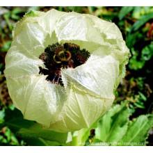 Herba Saussureae Involucratae xuelianhua Snow Lotus flower