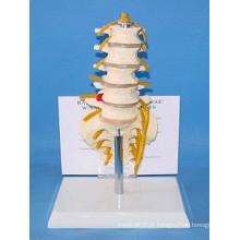 Anatomia Humana Esqueleto de Vertebra Lombar com Nervos (R020806)