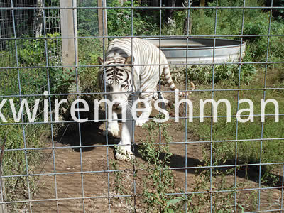 welded-mesh-tiger-fence