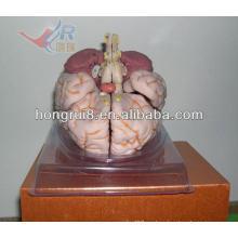 ISO Deluxe Brain Modelo Anatómico, Modelo de Cerebro Humano