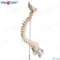 PNT-0120 anatomical human teaching plastic medical spine model