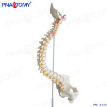 PNT-0120 anatomique humain enseignement modèle de colonne vertébrale médicale en plastique
