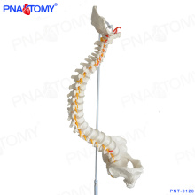 ПНТ-0120 анатомии человека обучение пластиковый медицинский позвоночника модель