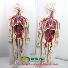 HEART12 (12488) Modelo de Educación del Sistema Circulatorio de la Sangre de los Humanos con 2 partes de Anatomía del Corazón