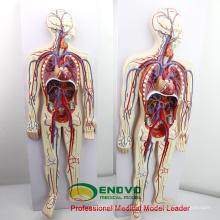 HEART12 (12488) Modelo de Educação do Sistema Circulatório Sanguíneo Humano com Anatomia do Coração de 2 partes