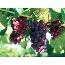 Extracto de semilla de uva de grado premium