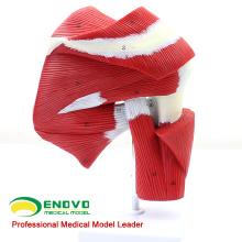 MUSCLE13 (12037) Modelo del tendón del músculo de la articulación del hombro humano de tamaño natural para orientación física 12037