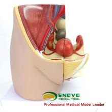 ANATOMY34 (12472) Medicina Clínica Sección Humana de Pelvis Femenina de Tamaño Completo con 8 Semanas Modelo Anatómico Infantil, 3 partes Móvil