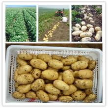 Batata / batata fresca / holland batata / o preço mais baixo da batata