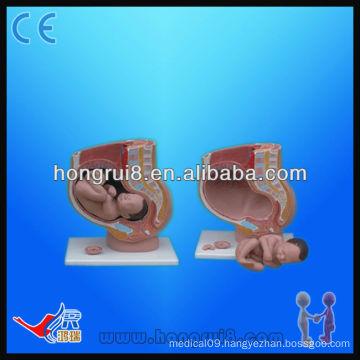 Advanced Pregnancy Pelvis Anatomy(4 parts), teaching female pelvis model