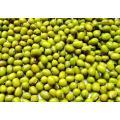 Frische chinesische grüne Mungobohnen