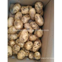 Récolte de pommes de terre de Hollande