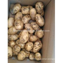 holland potato harvest