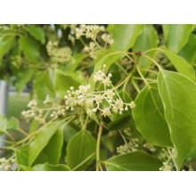 Reines Ho Leaf ätherisches Öl 50ml